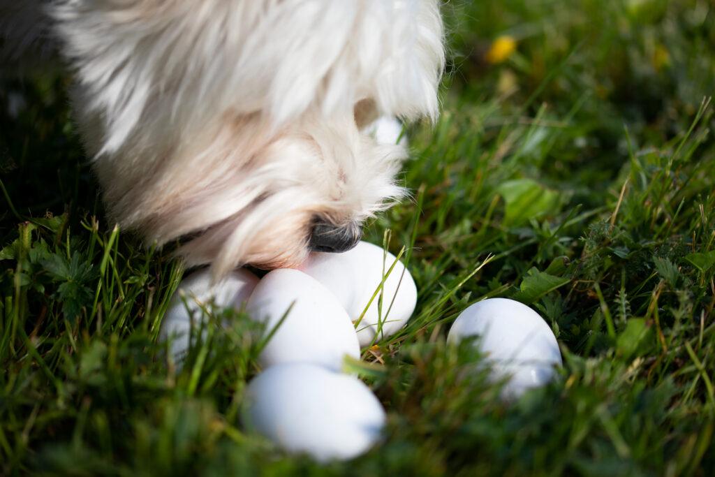 Rovio Pet Foods valkoinen koira haistelee kananmunia